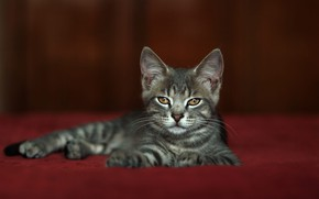 Picture cat, look, pose, kitty, grey, muzzle, lies, red background, Studio