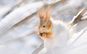 Picture winter, snow, branches, protein, light background, rodent