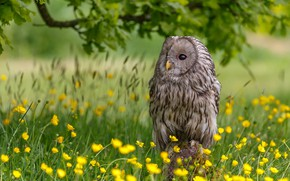 Picture flowers, owl, bird, buttercups, The Ural owl