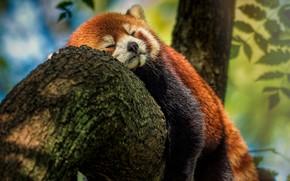 Picture tree, sweetheart, sleeping, red Panda