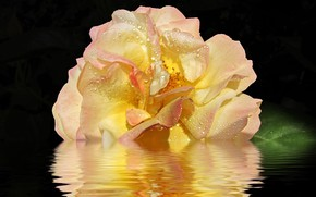 Picture water, reflection, rose