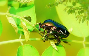 Picture summer, leaves, macro, branches, green, background, beetle, insect, brilliant, brantovka, brantovka Golden