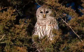 Picture branches, owl, bird, needles, owl