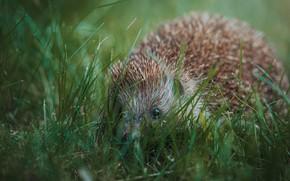 Picture greens, grass, nature, hedgehog, face, hedgehog, bokeh, Peeps