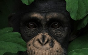 Picture eyes, look, leaves, animal, nose, monkey