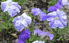 Picture Blue, Petunias, Mamala ©, Summer 2018, Bush