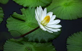 Picture white, flower, leaves, Lily, pond, green background, Nymphaeum, water Lily