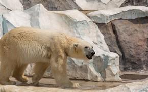 Picture white, look, pose, stones, rocks, bear, mouth, walk, polar bear, zoo