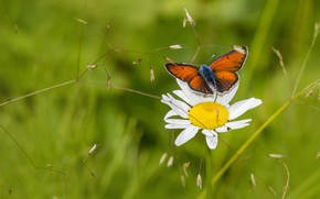 Picture flower, summer, macro, butterfly, glade, Daisy
