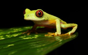 Picture sheet, leaf, frog, black background, green, treefrog, red-eyed