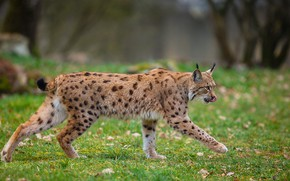 Picture language, grass, leaves, nature, glade, walk, lynx, wild cat, sneaks