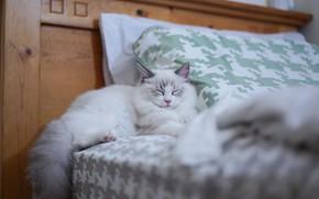 Picture cat, room, bed, sleep, sleeping, bed, kitty, ragdoll