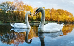 Wallpaper autumn, forest, water, trees, landscape, birds, nature, lake, pond, reflection, shore, pair, swans, pond, swimming, ...