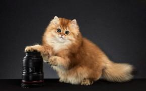Picture cat, look, pose, kitty, background, muzzle, the camera, Studio, chinchilla