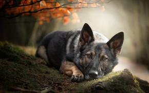 Picture autumn, look, face, leaves, nature, pose, foliage, stone, moss, portrait, dog, branch, lies, German shepherd, …