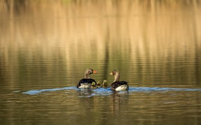 Picture water, sunlight, the goslings, grey geese