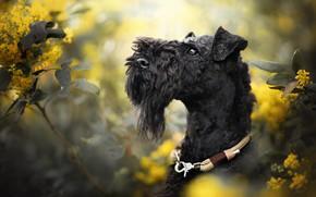Picture face, branches, dog, collar, flowers, bokeh, Керри-блю-терьер