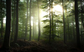 Picture forest, summer, the sun, rays, light, trees, branches, fog, trunks, foliage, morning