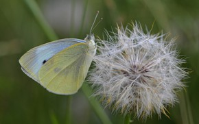 Picture dandelion, butterfly, cabbage