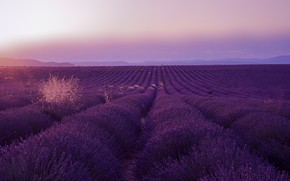 Picture field, landscape, flowers, nature, perspective, France, dal, space, the beds, the ranks, lavender, paths, plantation, …