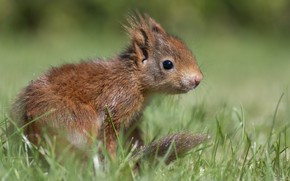 Picture grass, close-up, nature, pose, protein, rodent, squirrel