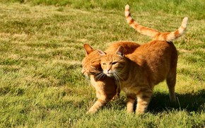 Picture grass, cats, cats, red, friends, tails
