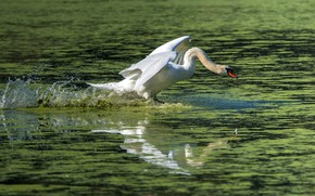 Picture white, water, squirt, bird, Swan, the rise, pond, flap