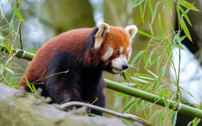 Picture look, face, leaves, branches, tree, portrait, red Panda, sitting, red Panda, meal