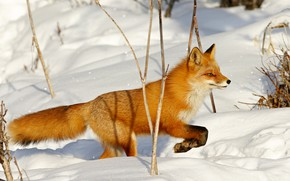 Picture winter, snow, branches, nature, pose, paws, Fox, the snow, profile, red, sneaks, Fox