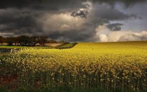 Picture field, clouds, rape