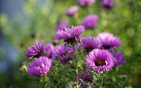 Picture flowers, Bush, pink, lilac, bokeh, asters