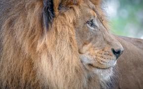 Picture Leo, king, mane, profile