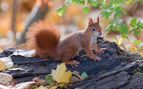 Picture autumn, leaves, nature, pose, protein, log, face, rodent