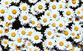 Picture flowers, background, chamomile, petals, Daisy, white, floral background