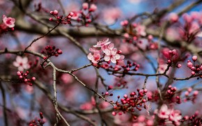 Picture branches, cherry, spring, flowering, flowers, cherry blossoms, buds