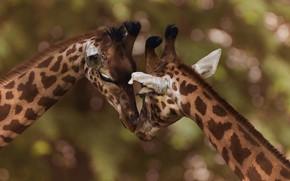 Picture pose, background, together, giraffe, pair, giraffes, weasel, Duo, two, muzzle, bokeh, head down, two giraffe