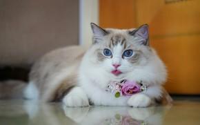 Picture language, cat, look, flowers, reflection, portrait, beauty, blue eyes, Ragdoll