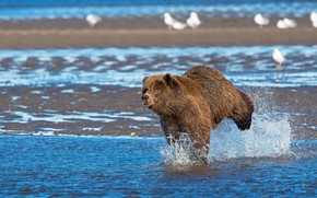 Picture water, squirt, birds, river, shore, bear, bathing, running, bear, pond, blue background, brown