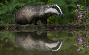 Picture flowers, reflection, pond, badger