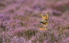 Picture thickets, horns, Heather, European ROE deer