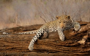 Picture branches, nature, pose, background, tree, paws, leopard, lies, bark