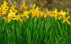 Picture flowers, spring, yellow, flowerbed, a lot, daffodils