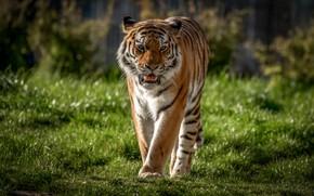 Picture grass, tiger, predator, wild cat