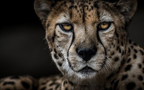 Wallpaper Cheetah, predator, portrait