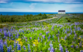 Picture road, greens, field, summer, clouds, flowers, house, yellow, horizon, meadow, house, path, lilac, lupins