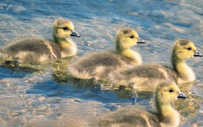 Picture water, birds, duck, company, ducklings, Chicks, pond, swimming, geese, flock, the goslings, Gosling, brood, Gosling