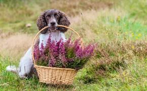 Picture flowers, basket, Spaniel