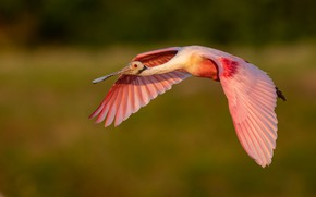 Picture flight, bird, wings, flies, green background, the scope, roseate spoonbill