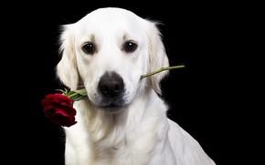Picture flower, look, face, rose, dog, black background, Golden Retriever, Golden Retriever, Natalia Lays