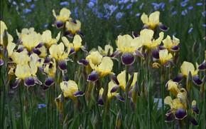 Picture petals, irises, motley